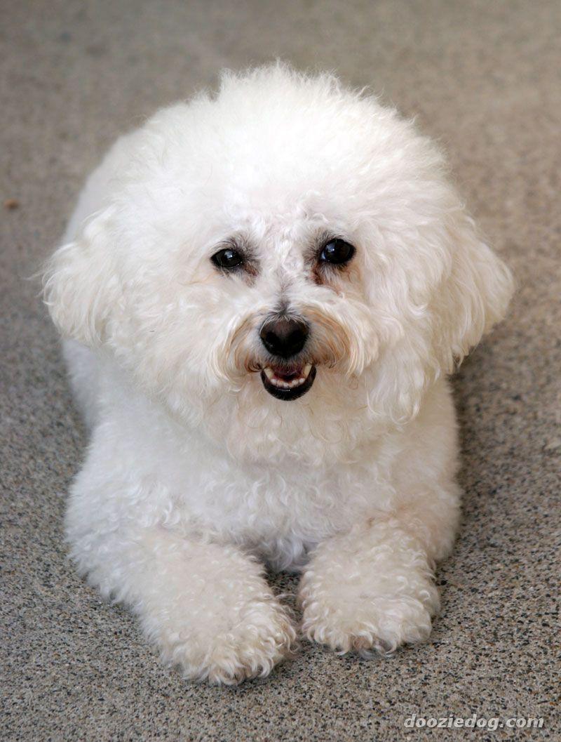 Pink Wallpaper With Cute Puppy Golden Retriever Cute Dogs Cute Bichon Frise Dog