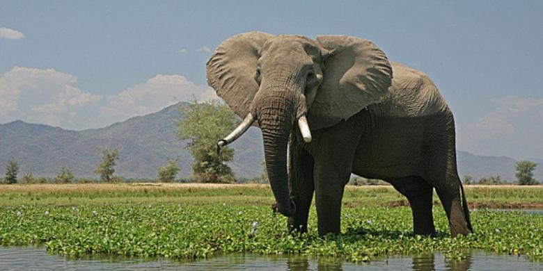 """Induk Gajah """"Berterima Kasih"""" Setelah Anaknya Diselamatkan"""