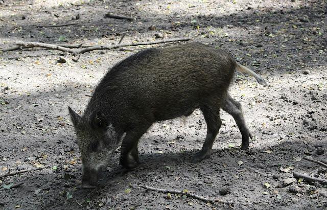Wildschein Tierpark
