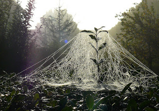 Sheet Weaver (Money) Spider's Web