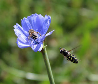 Bee inbound to an already occupied flower