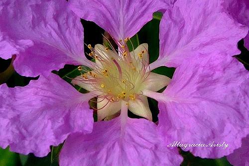 Hình ảnh hoa bằng lăng tím cả chiều mưa tuyệt đẹp