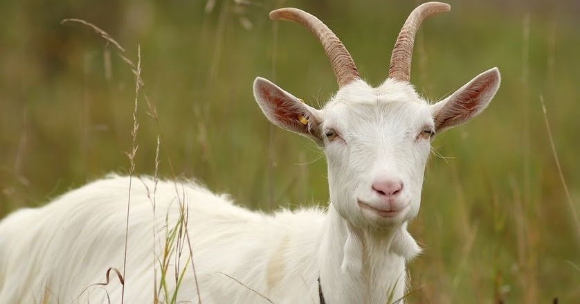 Young Man Caught Having Sex With Goat, Says Fear Of Hiv -6644