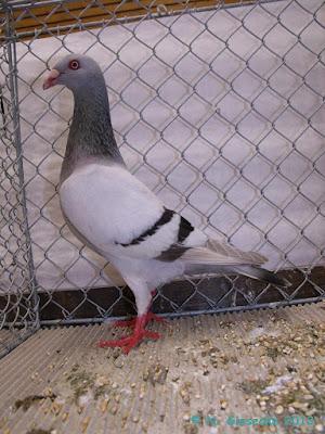 pigeon tumblers - Dansk Tumling