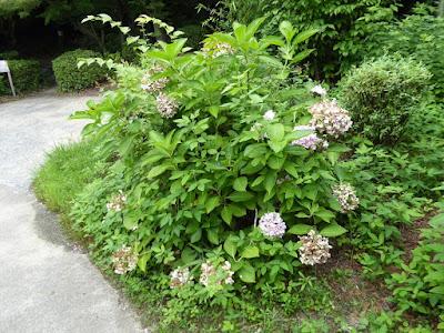 花博記念公園鶴見緑地 日本庭園 むらさき亭 枯れた紫陽花