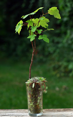 http://fotobabij.blogspot.com/2015/08/acer-pseudoplatanus-klon-jawor-bonsai-w.html