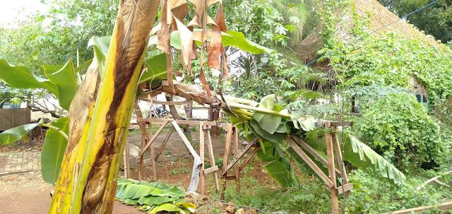 Angin kencang tumbangkan pohon pisang lpm