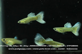 Jual Guppy Blue Big,  Harga Guppy Blue Big,  Toko Guppy Blue Big,  Diskon Guppy Blue Big,  Beli Guppy Blue Big,  Review Guppy Blue Big,  Promo Guppy Blue Big,  Spesifikasi Guppy Blue Big,  Guppy Blue Big Murah,  Guppy Blue Big Asli,  Guppy Blue Big Original,  Guppy Blue Big Jakarta,  Jenis Guppy Blue Big,  Budidaya Guppy Blue Big,  Peternak Guppy Blue Big,  Cara Merawat Guppy Blue Big,  Tips Merawat Guppy Blue Big,  Bagaimana cara merawat Guppy Blue Big,  Bagaimana mengobati Guppy Blue Big,  Ciri-Ciri Hamil Guppy Blue Big,  Kandang Guppy Blue Big,  Ternak Guppy Blue Big,  Makanan Guppy Blue Big,  Guppy Blue Big Termahal,  Adopsi Guppy Blue Big,  Jual Cepat Guppy Blue Big,  Guppy Blue Big  Jakarta,  Guppy Blue Big  Bandung,  Guppy Blue Big  Medan,  Guppy Blue Big  Bali,  Guppy Blue Big  Makassar,  Guppy Blue Big  Jambi,  Guppy Blue Big  Pekanbaru,  Guppy Blue Big  Palembang,  Guppy Blue Big  Sumatera,  Guppy Blue Big  Langsa,  Guppy Blue Big  Lhokseumawe,  Guppy Blue Big  Meulaboh,  Guppy Blue Big  Sabang,  Guppy Blue Big  Subulussalam,  Guppy Blue Big  Denpasar,  Guppy Blue Big  Pangkalpinang,  Guppy Blue Big  Cilegon,  Guppy Blue Big  Serang,  Guppy Blue Big  Tangerang Selatan,  Guppy Blue Big  Tangerang,  Guppy Blue Big  Bengkulu,  Guppy Blue Big  Gorontalo,  Guppy Blue Big  guppy,  Guppy Blue Big  tropical fish,  Guppy Blue Big  aquarium fish,  Guppy Blue Big  bubble guppies games,  Guppy Blue Big  guppy fish,  Guppy Blue Big  bubble guppies videos,  Guppy Blue Big  bubble guppies episodes,  Guppy Blue Big  bubble guppies full episodes,  Guppy Blue Big  super guppy,  Guppy Blue Big  bubble guppies cast,  Guppy Blue Big  aquarium online,  Guppy Blue Big  bubble guppies songs,  Guppy Blue Big  tetra aquarium,  Guppy Blue Big  guppies for sale,  Guppy Blue Big  pregnant guppy,  Guppy Blue Big  bubble guppies characters,  Guppy Blue Big  bubble guppy,  Guppy Blue Big  bubble guppies names,  Guppy Blue Big  guppies fish,  Guppy Blue Big  guppy breeding,  Guppy Blue Big  breeding guppies,  Guppy Blue Big  bubble guppie,  Guppy Blue Big  nick jr bubble guppies,  Guppy Blue Big  bubble guppies coloring pages,  Guppy Blue Big  bubble guppies video,  Guppy Blue Big  bubble guppy games,  Guppy Blue Big  guppy aquarium,  Guppy Blue Big  guppy care,  Guppy Blue Big  baby guppies,  Guppy Blue Big  design aquarium,  Guppy Blue Big  how to breed guppies,  Guppy Blue Big  endlers guppy,  Guppy Blue Big  bubble guppies wiki,  Guppy Blue Big  bubble guppies game,  Guppy Blue Big  guppies care,  Guppy Blue Big  guppy fry,  Guppy Blue Big  male guppies,  Guppy Blue Big  buble guppies,  Guppy Blue Big  guppy fish care,  Guppy Blue Big  female guppies,  Guppy Blue Big  female guppy,  Guppy Blue Big  guppy tank,  Guppy Blue Big  types of guppies,  Guppy Blue Big  online aquarium,  Guppy Blue Big  guppies aquarium,  Guppy Blue Big  pregnant guppies,  Guppy Blue Big  guppy giving birth,  Guppy Blue Big  what do guppies eat,  Guppy Blue Big  guppy life span,  Guppy Blue Big  guppy pond,  Guppy Blue Big  guppy grass,  Guppy Blue Big  guppies breeding,  Guppy Blue Big  aquarium guppy,  Guppy Blue Big  guppies giving birth,  Guppy Blue Big  bubble guppies pictures,  Guppy Blue Big  bubble guppies show,  Guppy Blue Big  male guppy,  Guppy Blue Big  guppy fish for sale,  Guppy Blue Big  pregnant guppy fish,  Guppy Blue Big  endler guppies,  Guppy Blue Big  guppy babies,  Guppy Blue Big  the bubble guppies,  Guppy Blue Big  bubble guppies images,  Guppy Blue Big  bubble guppies bubble puppy,  Guppy Blue Big  guppy food,  Guppy Blue Big  ferplast aquarium,  Guppy Blue Big  guppy temperature,  Guppy Blue Big  the binding isaac,  Guppy Blue Big  guppy tail,  Guppy Blue Big  the rebirth of isaac,  Guppy Blue Big  the binding of isaac rebirth guppy,  Guppy Blue Big  isaac the game,  Guppy Blue Big  guppie fish,  Guppy Blue Big  guppy fish breeding,  Guppy Blue Big  guppy for sale,  Guppy Blue Big  guppy tank mates,  Guppy Blue Big  aquarium shop online,  Guppy Blue Big  guppy gestation,  Guppy Blue Big  the binding of isaac guppy,  Guppy Blue Big  keeping guppies,  Guppy Blue Big  guppy definition,  Guppy Blue Big  guppy meaning,  Guppy Blue Big  guppy breathing,  Guppy Blue Big  fish tropical,  Guppy Blue Big  endlers guppies,  Guppy Blue Big  baby guppy,  Guppy Blue Big  nickelodeon bubble guppies,  Guppy Blue Big  guppy fish tank,  Guppy Blue Big  guppy types,  Guppy Blue Big  guppy fish types,  Guppy Blue Big  guppy diseases,  Guppy Blue Big  the binding of isaac 2,  Guppy Blue Big  isaac the binding,  Guppy Blue Big  wild guppies,  Guppy Blue Big  wild guppy,  Guppy Blue Big  fantail guppies,  Guppy Blue Big  guppy pregnancy,  Guppy Blue Big  lyretail guppy,  Guppy Blue Big  pregnant guppy stages,  Guppy Blue Big  guppy pregnant,  Guppy Blue Big  male and female guppies,  Guppy Blue Big  bubble guppys,  Guppy Blue Big  guppy birth,  Guppy Blue Big  do guppies need a heater,  Guppy Blue Big  pictures of guppies,  Guppy Blue Big  guppy fish life span,  Guppy Blue Big  guppy water temperature,  Guppy Blue Big  show guppies,  Guppy Blue Big  black guppy,  Guppy Blue Big  red guppy,  Guppy Blue Big  binding isaac wiki,  Guppy Blue Big  binding of isaac 2,  Guppy Blue Big  moscow guppy,  Guppy Blue Big  guppy forum,  Guppy Blue Big  guppies online,  Guppy Blue Big  fantail guppy,  Guppy Blue Big  yellow guppy,  Guppy Blue Big  snakeskin guppy,  Guppy Blue Big  guppy fry growth chart,  Guppy Blue Big  guppy fish food,  Guppy Blue Big  temperature for guppies,  Guppy Blue Big  water temperature for guppies,  Guppy Blue Big  guppy games,  Guppy Blue Big  black moscow guppy,  Guppy Blue Big  full red guppy,  Guppy Blue Big  blue moscow guppy,  Guppy Blue Big  game isaac,  Guppy Blue Big  male guppy fish,  Guppy Blue Big  guppy varieties,  Guppy Blue Big  albino guppy,  Guppy Blue Big  guppy pregnancy stages,  Guppy Blue Big  tequila sunrise guppy,  Guppy Blue Big  guppy fin rot,  Guppy Blue Big  guppy genetics,  Guppy Blue Big  pink guppy,  Guppy Blue Big  the guppy,  Guppy Blue Big  highland guppy,  Guppy Blue Big  guppy breeding tank,  Guppy Blue Big  guppy breeds,  Guppy Blue Big  show guppies for sale,  Guppy Blue Big  guppies for sale uk,  Guppy Blue Big  is my guppy pregnant,  Guppy Blue Big  guppies having babies,  Guppy Blue Big  guppy female,  Guppy Blue Big  guppy fry care,  Guppy Blue Big  do guppies need a filter,  Guppy Blue Big  do guppies eat their babies,  Guppy Blue Big  do guppies sleep,  Guppy Blue Big  aquarium 40 liter,  Guppy Blue Big  guppy game,  Guppy Blue Big  neon guppies,  Guppy Blue Big  neon guppy,  Guppy Blue Big  guppy neon,  Guppy Blue Big  isaac of binding,  Guppy Blue Big  moscow blue guppy,  Guppy Blue Big  guppy tail rot,  Guppy Blue Big  isaac the rebirth,  Guppy Blue Big  fish guppies,  Guppy Blue Big  guppies dying,  Guppy Blue Big  guppy species,  Guppy Blue Big  guppy gravid spot,  Guppy Blue Big  the of isaac,  Guppy Blue Big  breeding guppies for beginners,  Guppy Blue Big  guppy breeding cycle,  Guppy Blue Big  female guppies for sale,  Guppy Blue Big  guppies pregnant,  Guppy Blue Big  pregnant female guppy,  Guppy Blue Big  caring for guppies,  Guppy Blue Big  guppies babies,  Guppy Blue Big  guppy fry growth,  Guppy Blue Big  guppy tank setup,  Guppy Blue Big  guppy fish giving birth,  Guppy Blue Big  guppy fry food,  Guppy Blue Big  different types of guppies,  Guppy Blue Big  types of guppy,  Guppy Blue Big  guppy pictures,  Guppy Blue Big  aquarium voor beginners,  Guppy Blue Big  guppy life cycle,  Guppy Blue Big  guppies temperature,  Guppy Blue Big  guppy gestation period,  Guppy Blue Big  the binding of the isaac,  Guppy Blue Big  feeding guppies,  Guppy Blue Big  guppi fish,  Guppy Blue Big  guppy fish facts,  Guppy Blue Big  guppy breeders,  Guppy Blue Big  guppy wiki,  Guppy Blue Big  freshwater guppies,  Guppy Blue Big  rare guppies,  Guppy Blue Big  raising guppies,  Guppy Blue Big  guppy colors,  Guppy Blue Big  guppy strains,  Guppy Blue Big  guppy size,  Guppy Blue Big  turquoise guppy,  Guppy Blue Big  leopard guppy,  Guppy Blue Big  guppy love,  Guppy Blue Big  guppy images,  Guppy Blue Big  guppy plant,  Guppy Blue Big  water temp for guppies,  Guppy Blue Big  guppy breeding setup,  Guppy Blue Big  guppies for sale online,  Guppy Blue Big  guppys aquarium,  Guppy Blue Big  guppy fish pregnant,  Guppy Blue Big  guppy care sheet,  Guppy Blue Big  endler guppy hybrid,  Guppy Blue Big  baby guppy fish,  Guppy Blue Big  female guppy fish,  Guppy Blue Big  bubble guppies nickelodeon,  Guppy Blue Big  guppy tanks,  Guppy Blue Big  guppies food,  Guppy Blue Big  best food for guppies,  Guppy Blue Big  tropical guppies,  Guppy Blue Big  black guppy fish,  Guppy Blue Big  black moscow guppies,  Guppy Blue Big  gestation period for guppies,  Guppy Blue Big  blue neon guppy,  Guppy Blue Big  red mosaic guppy,  Guppy Blue Big  betta and guppies,  Guppy Blue Big  guppy fishes,  Guppy Blue Big  fish compatible with guppies,  Guppy Blue Big  what is a guppy fish,  Guppy Blue Big  guppy s,  Guppy Blue Big  guppy guppy,  Guppy Blue Big  guppy facts,  Guppy Blue Big  guppy behavior,  Guppy Blue Big  green guppy,  Guppy Blue Big  white guppy,  Guppy Blue Big  guppy dropsy,  Guppy Blue Big  purple guppy,  Guppy Blue Big  bloated guppy,  Guppy Blue Big  angelfish and guppies,  Guppy Blue Big  fin rot guppy,  Guppy Blue Big  guppies keep dying,  Guppy Blue Big  mollies and guppies,  Guppy Blue Big  stages of guppy pregnancy,  Guppy Blue Big  south african guppies,  Guppy Blue Big  mosaic guppy,  Guppy Blue Big  guppy cartoon,  Guppy Blue Big  breeding guppy,  Guppy Blue Big  aquarium guppies,  Guppy Blue Big  pregnant guppie,  Guppy Blue Big  female guppy pregnant,  Guppy Blue Big  guppy tank size,  Guppy Blue Big  guppies tank mates,  Guppy Blue Big  do guppies give live birth,  Guppy Blue Big  buy guppies,  Guppy Blue Big  food for guppies,  Guppy Blue Big  types of guppy fish,  Guppy Blue Big  guppy disease,  Guppy Blue Big  tropical fish guppies,  Guppy Blue Big  black guppies,  Guppy Blue Big  guppy black,  Guppy Blue Big  red guppies,  Guppy Blue Big  red guppy fish,  Guppy Blue Big  moscow guppies,  Guppy Blue Big  guppies and bettas,  Guppy Blue Big  guppy fish information,  Guppy Blue Big  guppy fish images,  Guppy Blue Big  all about guppies,  Guppy Blue Big  guppy breeder,  Guppy Blue Big  guppys online,  Guppy Blue Big  guppy poecilia reticulata,  Guppy Blue Big  guppy a,  Guppy Blue Big  purple guppies,  Guppy Blue Big  beautiful guppies,  Guppy Blue Big  guppy pdf,  Guppy Blue Big  guppy swimming vertically,  Guppy Blue Big  guppy names,  Guppy Blue Big  yellow guppies,  Guppy Blue Big  male guppies fighting,  Guppy Blue Big  guppies and tetras,  Guppy Blue Big  saltwater guppies,  Guppy Blue Big  guppies and mollies,  Guppy Blue Big  the guppies,  Guppy Blue Big  breeding guppies in community tank,  Guppy Blue Big  breed guppies,  Guppy Blue Big  live guppies for sale,  Guppy Blue Big  guppies fish for sale,  Guppy Blue Big  breeding guppies for profit,  Guppy Blue Big  guppies aquarium products,  Guppy Blue Big  taking care of guppies,  Guppy Blue Big  guppies fish care,  Guppy Blue Big  john endler guppies,  Guppy Blue Big  guppy fish babies,  Guppy Blue Big  male and female guppy,  Guppy Blue Big  guppy fry development,  Guppy Blue Big  guppy fry stages,  Guppy Blue Big  guppies fish tank,  Guppy Blue Big  guppies tank,  Guppy Blue Big  guppy fry tank,  Guppy Blue Big  female guppy giving birth,  Guppy Blue Big  pregnant guppy giving birth,  Guppy Blue Big  guppies birth,  Guppy Blue Big  guppy give birth,  Guppy Blue Big  guppies types,  Guppy Blue Big  how much do guppies cost,  Guppy Blue Big  do guppies eat algae,  Guppy Blue Big  guppy diseases pictures,  Guppy Blue Big  pregnant guppy pictures,  Guppy Blue Big  pictures of guppy fish,  Guppy Blue Big  guppy fish diseases,  Guppy Blue Big  show guppy,  Guppy Blue Big  guppy tropical fish,  Guppy Blue Big  guppies tropical fish,  Guppy Blue Big  half black guppy,  Guppy Blue Big  neon blue guppy,  Guppy Blue Big  guppies and neon tetras,  Guppy Blue Big  binding of the isaac,  Guppy Blue Big  moscow blue guppies,  Guppy Blue Big  of isaac game,  Guppy Blue Big  feeding guppy fry,  Guppy Blue Big  game the binding of isaac,  Guppy Blue Big  the binding of isaac the game,  Guppy Blue Big  blue guppy fish,  Guppy Blue Big  fish that can live with guppies,  Guppy Blue Big  images of guppy fish,  Guppy Blue Big  guppy online,  Guppy Blue Big  albino guppies,  Guppy Blue Big  pics of guppies,  Guppy Blue Big  my guppies keep dying,  Guppy Blue Big  guppy colours,  Guppy Blue Big  guppy growth chart,  Guppy Blue Big  golden guppy,  Guppy Blue Big  colorful guppies,  Guppy Blue Big  columnaris guppy,  Guppy Blue Big  guppy diet,  Guppy Blue Big  dragon guppy,  Guppy Blue Big  atfg guppy,  Guppy Blue Big  blue diamond guppy,  Guppy Blue Big  gold guppy,  Guppy Blue Big  guppy scientific name,  Guppy Blue Big  guppies fighting,  Guppy Blue Big  pingu guppy,  Guppy Blue Big  trinidadian guppies,  Guppy Blue Big  dropsy guppy,  Guppy Blue Big  fat guppy,  Guppy Blue Big  guppy guppies,  Guppy Blue Big  guppy singapore,  Guppy Blue Big  sunset guppy,  Guppy Blue Big  guppy natural habitat,  Guppy Blue Big  guppies breeding cycle,  Guppy Blue Big  breeding tank for guppies,  Guppy Blue Big  guppy breeding guide,  Guppy Blue Big  guppies fish breeding,  Guppy Blue Big  guppy breeding trap,  Guppy Blue Big  guppy breeding tank setup,  Guppy Blue Big  guppy sale,  Guppy Blue Big  rare guppies for sale,  Guppy Blue Big  endler guppies for sale,  Guppy Blue Big  aquarium de guppy,  Guppy Blue Big  pregnant guppy behavior,  Guppy Blue Big  guppie care,  Guppy Blue Big  guppy care guide,  Guppy Blue Big  baby guppy care,  Guppy Blue Big  guppy having babies,  Guppy Blue Big  guppies male or female,  Guppy Blue Big  guppies female,  Guppy Blue Big  guppy fish female,  Guppy Blue Big  guppies fry,  Guppy Blue Big  raising guppy fry,  Guppy Blue Big  guppy birth signs,  Guppy Blue Big  guppies live birth,  Guppy Blue Big  guppy fish pictures,  Guppy Blue Big  guppies pictures,  Guppy Blue Big  female guppy pictures,  Guppy Blue Big  life cycle of a guppy,  Guppy Blue Big  guppies water temperature,  Guppy Blue Big  tropical fish guppy,  Guppy Blue Big  tropical guppy,  Guppy Blue Big  moscow black guppy,  Guppy Blue Big  neon tetras and guppies,  Guppy Blue Big  guppy tails,  Guppy Blue Big  guppy feeding,  Guppy Blue Big  bettas and guppies,  Guppy Blue Big  guppies and betta,  Guppy Blue Big  can guppies live with bettas,  Guppy Blue Big  guppy fish price,  Guppy Blue Big  guppy fish varieties,  Guppy Blue Big  wild guppy fish,  Guppy Blue Big  guppys fish,  Guppy Blue Big  guppies information,  Guppy Blue Big  free guppies,  Guppy Blue Big  blue glass guppy,  Guppy Blue Big  guppy d,  Guppy Blue Big  pink guppies,  Guppy Blue Big  guppy behaviour,  Guppy Blue Big  common guppy,  Guppy Blue Big  ribbon guppy,  Guppy Blue Big  kinds of guppies,  Guppy Blue Big  gonopodium guppy,  Guppy Blue Big  rare guppy,  Guppy Blue Big  guppy compatibility,  Guppy Blue Big  pretty guppies,  Guppy Blue Big  snakeskin guppies,  Guppy Blue Big  guppy anatomy,  Guppy Blue Big  green guppies,  Guppy Blue Big  guppies in the wild,  Guppy Blue Big  guppy growth,  Guppy Blue Big  guppy water temp,  Guppy Blue Big  guppy swim bladder,  Guppy Blue Big  german yellow guppy,  Guppy Blue Big  guppy videos,  Guppy Blue Big  cartoon guppy,  Guppy Blue Big  guppy not eating,  Guppy Blue Big  exotic guppy,  Guppy Blue Big  breeding guppys,  Guppy Blue Big  breeding guppy fish,  Guppy Blue Big  guppies for sale cheap,  Guppy Blue Big  guppy breed,  Guppy Blue Big  cheap guppies for sale,  Guppy Blue Big  wild guppies for sale,  Guppy Blue Big  guppys for sale,  Guppy Blue Big  baby guppies for sale,  Guppy Blue Big  guppy fry for sale,  Guppy Blue Big  guppy fish aquarium,  Guppy Blue Big  aquarium fish guppy,  Guppy Blue Big  care for guppies,  Guppy Blue Big  bubble guppies nick,  Guppy Blue Big  nick bubble guppies,  Guppy Blue Big  guppie fry,  Guppy Blue Big  caring for guppy fry,  Guppy Blue Big  guppy fish tanks,  Guppy Blue Big  female guppies giving birth,  Guppy Blue Big  where to buy guppies,  Guppy Blue Big  fish food for guppies,  Guppy Blue Big  pictures of pregnant guppies,  Guppy Blue Big  albino red guppy,  Guppy Blue Big  moscow green guppy,  Guppy Blue Big  purple moscow guppies,  Guppy Blue Big  isaac of rebirth,  Guppy Blue Big  feeding baby guppies,  Guppy Blue Big  guppy photo,  Guppy Blue Big  game binding of isaac,  Guppy Blue Big  a guppy fish,  Guppy Blue Big  compatible fish with guppies,  Guppy Blue Big  live guppies,  Guppy Blue Big  poecilia reticulata guppy,  Guppy Blue Big  exotic guppies,  Guppy Blue Big  guppy price,  Guppy Blue Big  guppy video,  Guppy Blue Big  guppy wallpaper,  Guppy Blue Big  white guppies,  Guppy Blue Big  lyretail guppies,  Guppy Blue Big  small guppies,  Guppy Blue Big  guppy mouth,  Guppy Blue Big  blonde guppy,  Guppy Blue Big  peacock guppy,  Guppy Blue Big  looking after guppies,  Guppy Blue Big  guppy bent spine,  Guppy Blue Big  plants for guppies,  Guppy Blue Big  guppy predators,  Guppy Blue Big  beautiful guppy,  Guppy Blue Big  guppy eyes,  Guppy Blue Big  guppy gonopodium,  Guppy Blue Big  singapore guppy,  Guppy Blue Big  dropsy in guppies,  Guppy Blue Big  guppy fungus,  Guppy Blue Big  gubbi fish,  Guppy Blue Big  selective breeding guppies,  Guppy Blue Big  breeding mollies and guppies,  Guppy Blue Big  breeds of guppies,  Guppy Blue Big  guppies sale,  Guppy Blue Big  guppy breeding net,  Guppy Blue Big  rare guppy breeds,  Guppy Blue Big  guppie breeding,  Guppy Blue Big  albino guppies for sale,  Guppy Blue Big  blue guppies for sale,  Guppy Blue Big  pregnant guppies for sale,  Guppy Blue Big  guppy aquariums,  Guppy Blue Big  aquarium a guppy,  Guppy Blue Big  care of guppies,  Guppy Blue Big  baby guppies care,  Guppy Blue Big  guppy baby fish,  Guppy Blue Big  guppy male female,  Guppy Blue Big  male female guppies,  Guppy Blue Big  bubble guppies on nick jr,  Guppy Blue Big  guppy breeder tank,  Guppy Blue Big  buy guppy fish,  Guppy Blue Big  baby guppy food,  Guppy Blue Big  type of guppies,  Guppy Blue Big  do guppies need air pump,  Guppy Blue Big  pictures of guppies fish,  Guppy Blue Big  picture of guppies,  Guppy Blue Big  female guppies pictures,  Guppy Blue Big  guppy picture,  Guppy Blue Big  guppies life span,  Guppy Blue Big  life span of guppies,  Guppy Blue Big  guppy life expectancy,  Guppy Blue Big  show quality guppies,  Guppy Blue Big  breeding show guppies,  Guppy Blue Big  tropical guppy fish,  Guppy Blue Big  guppy fish game,  Guppy Blue Big  guppies gestation period,  Guppy Blue Big  guppies gestation,  Guppy Blue Big  fan tail guppies,  Guppy Blue Big  fan tailed guppies,  Guppy Blue Big  dragon tail guppy,  Guppy Blue Big  the rebirth of isaac game,  Guppy Blue Big  the isaac game,  Guppy Blue Big  guppies feeding,  Guppy Blue Big  guppy photos,  Guppy Blue Big  about guppy fish,  Guppy Blue Big  yellow guppy fish,  Guppy Blue Big  guppy fish bowl,  Guppy Blue Big  selling guppies,  Guppy Blue Big  guppy pics,  Guppy Blue Big  about guppies,  Guppy Blue Big  ifga guppies,  Guppy Blue Big  taiwan guppy,  Guppy Blue Big  guppies price,  Guppy Blue Big  different kinds of guppies,  Guppy Blue Big  guppy blog,  Guppy Blue Big  guppy plants,  Guppy Blue Big  guppy green,  Guppy Blue Big  tankmates for guppies,  Guppy Blue Big  freshwater guppy,  Guppy Blue Big  tequila sunrise guppies,  Guppy Blue Big  endless guppy,  Guppy Blue Big  platies and guppies,  Guppy Blue Big  guppy parasites,  Guppy Blue Big  guppy pet,  Guppy Blue Big  guppy illness,  Guppy Blue Big  pet guppies,  Guppy Blue Big  guppy white,  Guppy Blue Big  guppies species,  Guppy Blue Big  hybrid guppies,  Guppy Blue Big  breeding tanks for guppies,  Guppy Blue Big  guppy breeding tanks,  Guppy Blue Big  guppy care and breeding,  Guppy Blue Big  breeding guppies for feeders,  Guppy Blue Big  guppy fish sale,  Guppy Blue Big  breeding guppies for sale,  Guppy Blue Big  guppy aquarium fish,  Guppy Blue Big  aquarium guppy fish,  Guppy Blue Big  guppies aquariums,  Guppy Blue Big  pregnant guppys,  Guppy Blue Big  pregnant female guppies,  Guppy Blue Big  raising baby guppies,  Guppy Blue Big  guppy fry color,  Guppy Blue Big  guppy fry size,  Guppy Blue Big  guppy birthing process,  Guppy Blue Big  buying guppies,  Guppy Blue Big  buy guppy fish online,  Guppy Blue Big  buy guppy,  Guppy Blue Big  homemade guppy food,  Guppy Blue Big  pictures of female guppies,  Guppy Blue Big  pictures of baby guppies,  Guppy Blue Big  guppies diseases,  Guppy Blue Big  guppy diseases symptoms,  Guppy Blue Big  life cycle of guppies,  Guppy Blue Big  guppy shows,  Guppy Blue Big  show guppy breeders,  Guppy Blue Big  is a guppy a tropical fish,  Guppy Blue Big  binding the isaac,  Guppy Blue Big  the of isaac game,  Guppy Blue Big  the game isaac,  Guppy Blue Big  guppy fish photos,  Guppy Blue Big  photos of guppies,  Guppy Blue Big  binding isaac game,  Guppy Blue Big  binding game,  Guppy Blue Big  guppies fishing report,  Guppy Blue Big  all about guppy fish,  Guppy Blue Big  the guppy fish,  Guppy Blue Big  how much are guppy fish,  Guppy Blue Big  is a guppy a fish,  Guppy Blue Big  guppy fish wiki,  Guppy Blue Big  guppies fish bowl,  Guppy Blue Big  cheap guppies,  Guppy Blue Big  fresh water guppies,  Guppy Blue Big  how to sell guppies,  Guppy Blue Big  pond guppies,  Guppy Blue Big  information about guppies,  Guppy Blue Big  guppy illnesses,  Guppy Blue Big  guppy hatchery,  Guppy Blue Big  guppy store,  Guppy Blue Big  guppies fin rot,  Guppy Blue Big  common guppies,  Guppy Blue Big  guppy prices,  Guppy Blue Big  guppy mouth fungus,  Guppy Blue Big  singapore guppies,  Guppy Blue Big  guppy book,  Guppy Blue Big  large guppy,  Guppy Blue Big  breading guppies,  Guppy Blue Big  malaysia guppy,  Guppy Blue Big  aggressive guppies,  Guppy Blue Big  guppies diet,  Guppy Blue Big  my guppy,  Guppy Blue Big  robert john lechmere guppy,  Guppy Blue Big  guppy breading,  Guppy Blue Big  guppy forums,  Guppy Blue Big  guppies pics,  Guppy Blue Big  guppy fin rot treatment,  Guppy Blue Big  the re-birth,  Guppy Blue Big  the binding rebirth,  Guppy Blue Big  guppies aquarium supplies,  Guppy Blue Big  aquarium mit guppys,  Guppy Blue Big  guppys im aquarium,  Guppy Blue Big  fry guppy,  Guppy Blue Big  where can i buy guppies,  Guppy Blue Big  breeding guppies for food,  Guppy Blue Big  guppy fish picture,  Guppy Blue Big  binding of isaac original,  Guppy Blue Big  the isaac of binding,  Guppy Blue Big  rebirth of isaac game,  Guppy Blue Big  game of isaac,  Guppy Blue Big  guppies photos,  Guppy Blue Big  guppy fish breeders,  Guppy Blue Big  what is guppy fish,  Guppy Blue Big  guppy water conditions,  Guppy Blue Big  german guppies,  Guppy Blue Big  laser beam guppy,  Guppy Blue Big  the binding of rebirth,  Guppy Blue Big  the binding of isaac a,  Guppy Blue Big  guppy rebirth,
