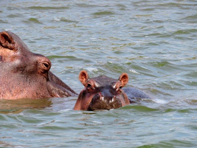 Baby hippo on the Kazinga Channel in Uganda