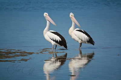 2 Pelicans reflection in sea water coorong island beach Hindmarsh Island Murray Mouth