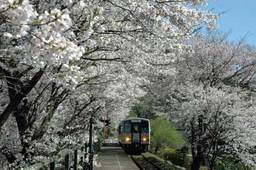 JR因美線三浦駅桜並木満開