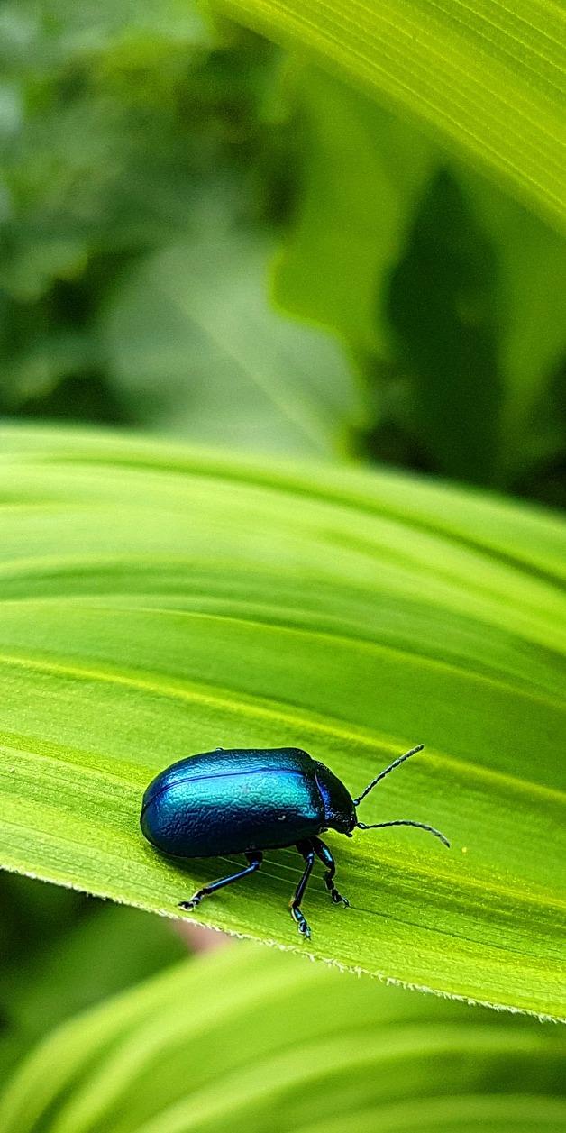 Alder leaf beetle.