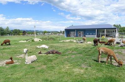Gem Alpaca Stud, Fairlie