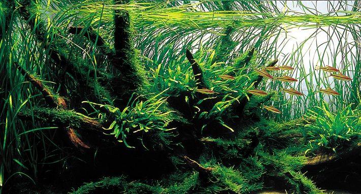 Cây cỏ cọp rất đẹp khi được trồng hậu cảnh hồ thủy sinh