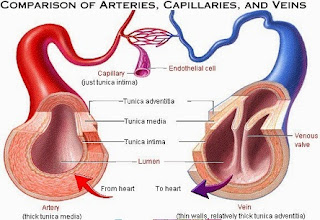 tabel perbedaan arteri dan vena,perbedaan arteri dan vena dalam tabel,perbedaan arteri dan vena dalam bentuk tabel,perbedaan arteri dan vena pdf,perbedaan arteri dan vena secara histologi,