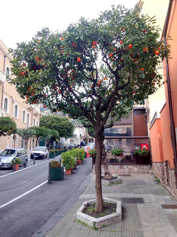 Drzewka pomarańczowe Sycylia