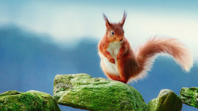 squirrel on green rock hd wallpaper