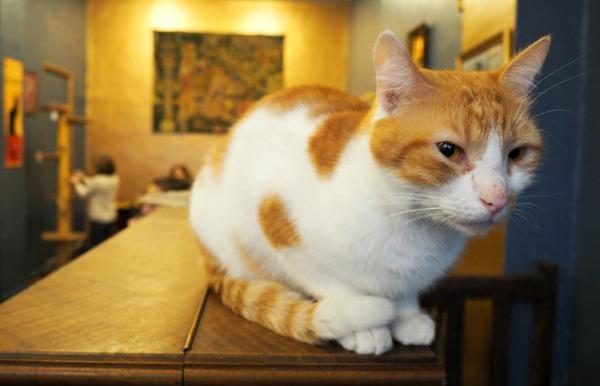 chat blanc et roux paris