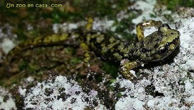 Aneides aeneus - Green Salamander