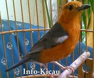 Daftar Penyebab Burung Anis Merah Macet Tiba