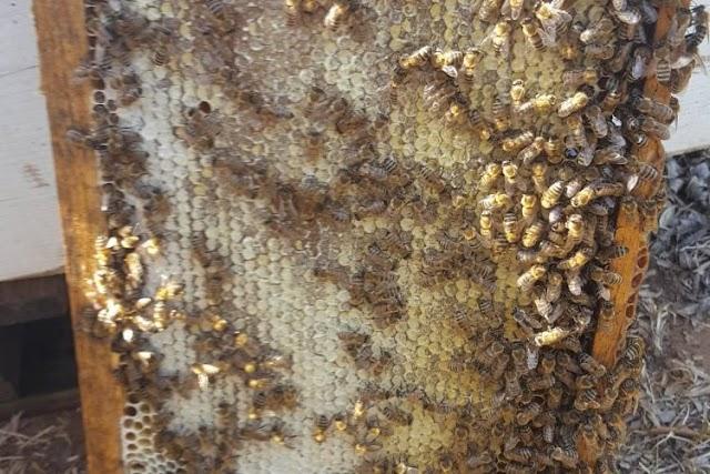 Πόσο μέλι αφήνουμε μέσα στο μελίσσι για μέγιστη Ανοιξιάτικη Ανάπτυξη: Μια πολύ σοβαρή έρευνα...