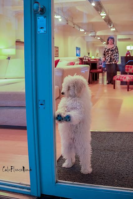 Perro blanco arado en dos pata apoyando las delanteras en el vidrio de la puerta.