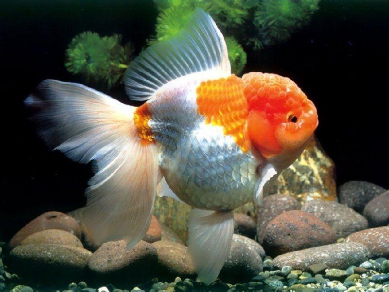 Budidaya Ikan Mas Koki di Kolam Terpal