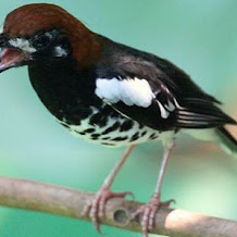 Cacing Tanah Untuk Birahi Burung Anis Kembang