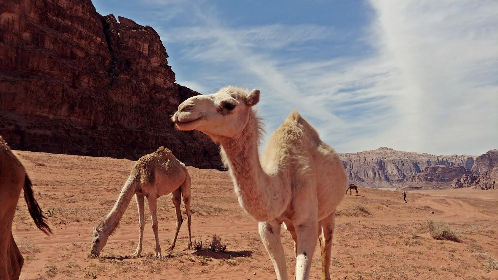 Wadi Rum wielbłądy na pustyni