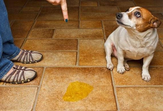 Perro se hace pipi en casa y le regañan