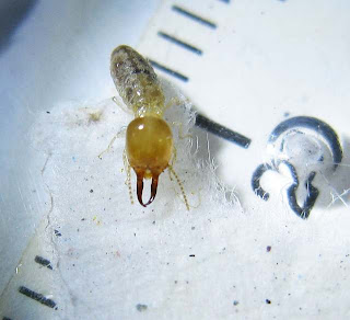 A soldier of Prohamitermes termite