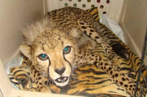 Fujairah In Focus Keeping Wild Animals In The Uae
