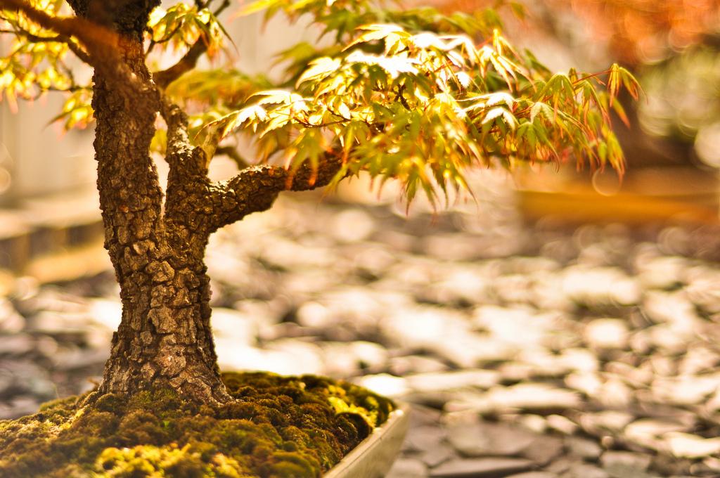 Cultivo f cil del bonsai falta de agua en el bonsai - Cultivo del bonsai ...