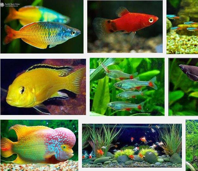Jenis Ikan Hias Air Tawar Aquarium Terindah