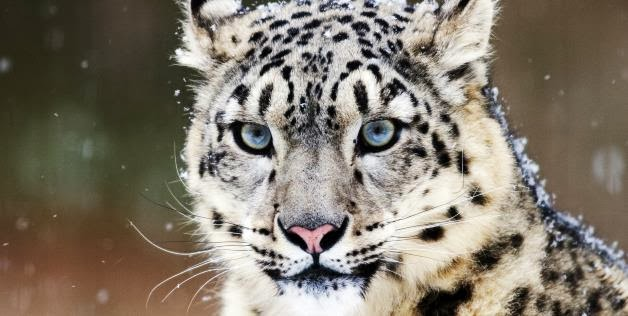 Researchers Find Buddhist Monks Protecting Endangered Snow Leopards
