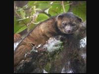 Olinguito, Spesies Mamalia Baru