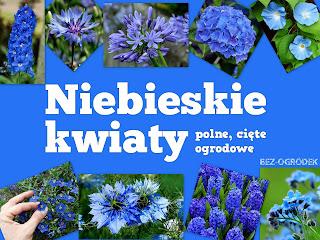 galeria zdjęć niebieskich kwiatów