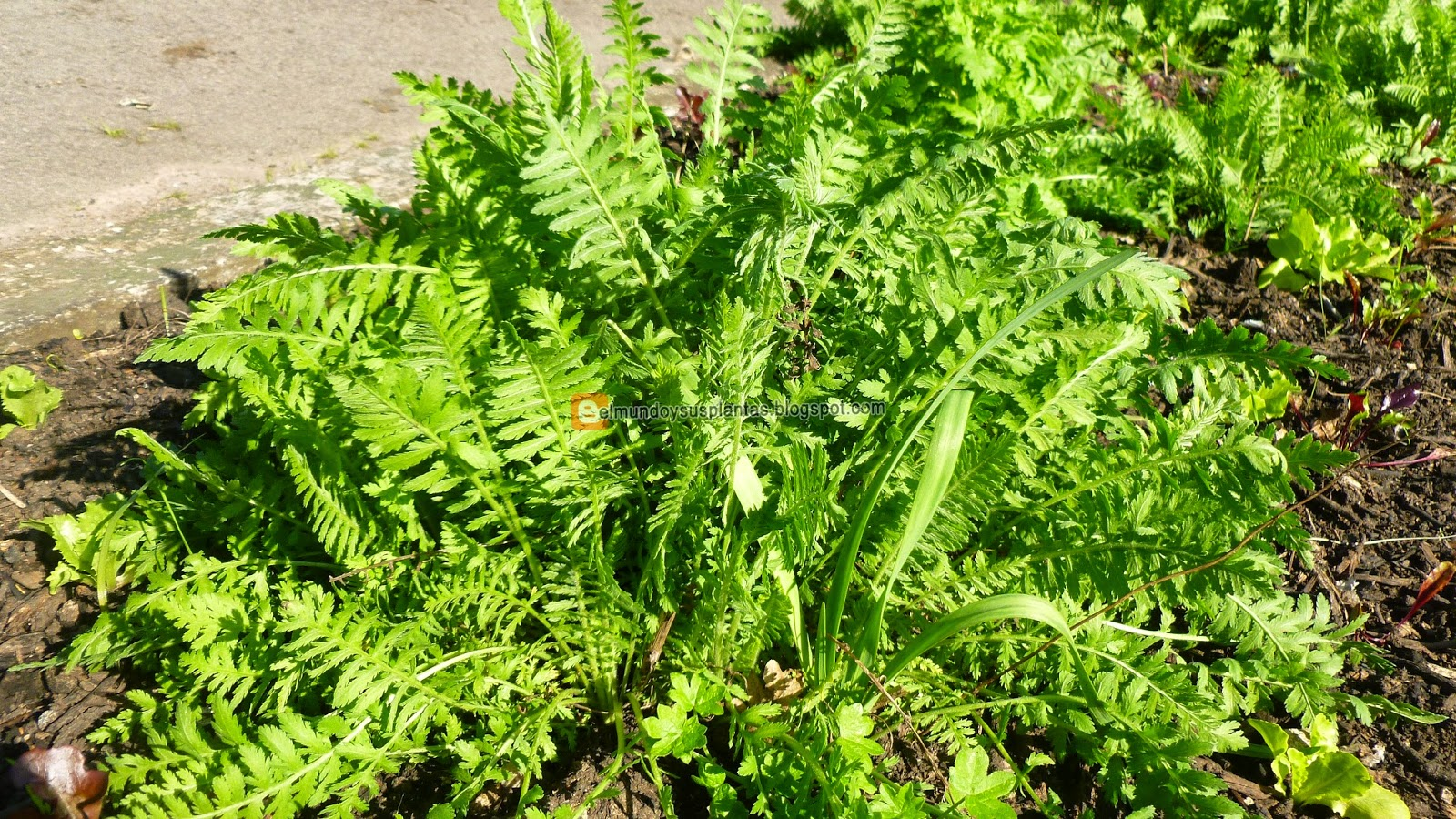 Tanacetum vulgare medicinal el mundo y sus plantas for Santa teresita planta