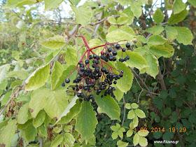 Συνταγές φυτικών παρασκευασμάτων για φυτοπροστασία-Λίπασμα σαμπούκου