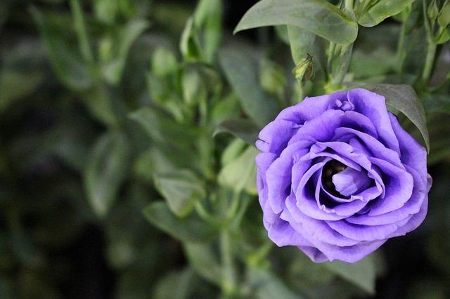 y nghia hoa hong xanh