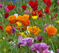 Eschscholzia (Californian Poppy)