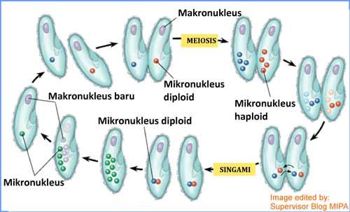 gambar dan tahapan Reproduksi Paramecium caudatum secara seksual (Konjugasi)