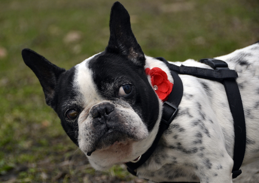 adopting a special needs French Bull Dog