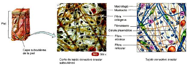 Capa subcutánea de la piel