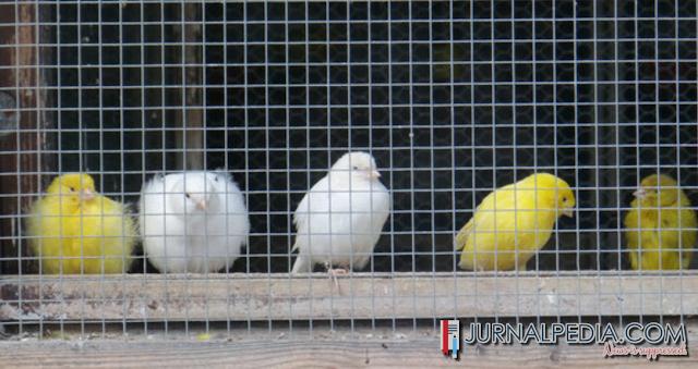 7 Fakta Unik Tentang Burung Kenari Yang Jarang Diketahui Kenari Mania