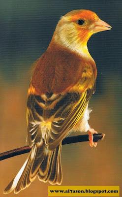 الحسون, طائر الحسون, الهجين, النغل, هجين الحسون, أنواع هجين الحسون, صور هجين الحسون, صور, أنواع