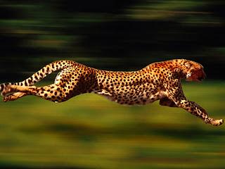 اسرع 5 حيوانات في العالم 500_01276020853.jpg