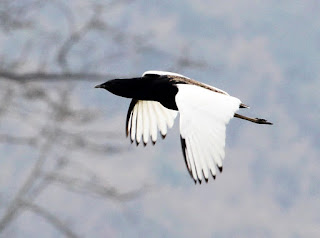 Image of Bengal Florican photographed by Pongpol Adirex.