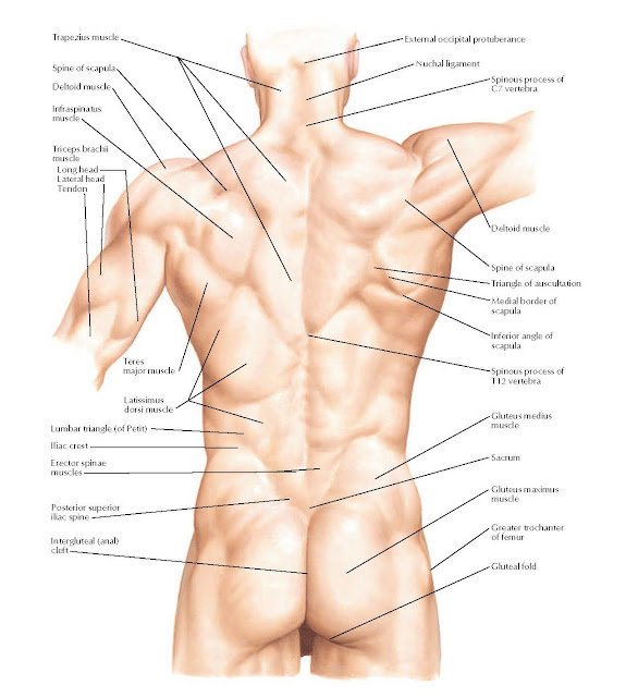 Back: Surface Anatomy  Trapezius muscle, Spine of scapula Deltoid muscle, Triceps brachii muscle, Long head Lateral head Tendon, Infraspinatus muscle, Teres major muscle, Latissimus dorsi muscle, Erector spinae muscles, Iliac crest, Posterior superior iliac spine, Intergluteal (anal) cleft, Greater trochanter of femur, Gluteal fold, Gluteus maximus muscle, Sacrum, Gluteus medius muscle, Spinous process of T12 vertebra, Inferior angle of scapula, Medial border of scapula, Spine of scapula, Deltoid muscle, Spinous process of C7 vertebra, Nuchal ligament, External occipital protuberance, Lumbar triangle (of Petit).