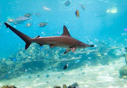 The Hammerhead Shark   The Wildlife